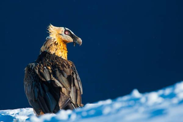 IN03-barbed-vulture-inaki-relanzon.jpg