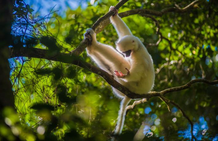 Silky Sifaka Lemur (Propithecus candidus), one of the most endangered primate of the world. Marojejy National Park, Sambava, Madagascar.  Critically endangered in the RED LIST IUCN.  Nikon D3, 300 mm f2.8. 1/640, ISO 200   iñaki Relanzon. Email: relanzon@photosfera.com  Website: www.photosfera.com  Phone (+34) 630 28 00 54