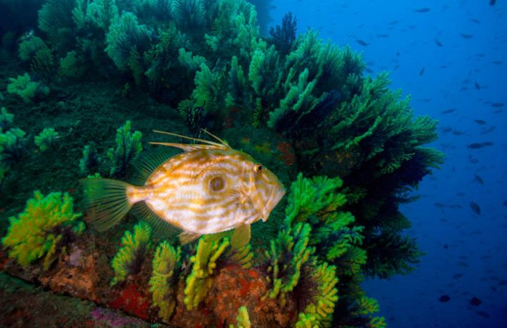 Peter's fish swimming around gorgonias coral in the mediterranean coast of Spain. THE LIVING MED PROJECT.
