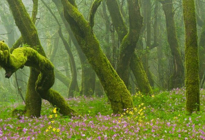 Laurisilva forests (Laurus azorica) among other trees and pink flowers of Geranium canariensis in Garajonay National Park, La Gomera Island, Canary Islands, Spain.