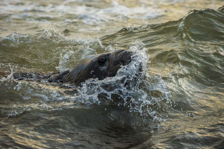 This young male of Southern elephant seal (Mirounga leonina) was swimming and keeping an eye to another male who was standing on the shore with females. Falkland Islands.