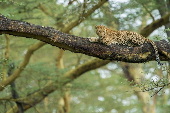 Leopard (Panthera pardus) laying on a acacia tree, Nakuru National Park, Kenya.