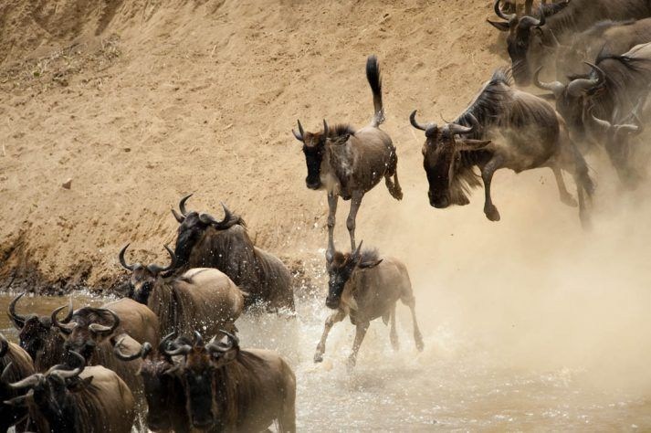 Wildebeest (Connochaetews taurinus) migration, crossing the Mara river, in Masai Mara, Kenya.