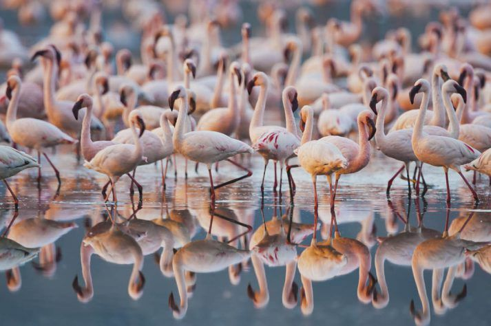 Lesser flamingos (Phoenicopterus minor) in Nakuru Lake Natiuonal Park, Kenya.