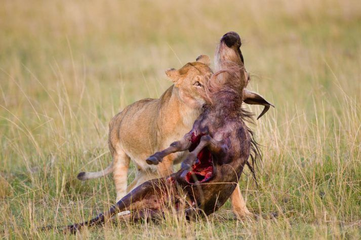 Female of lion (Panthera leo) eating a Blue Wildebeest (Connochaetes taurinus) hunted at night in Masai Mara reserve, Kenya.