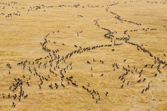 Migrating Wildebeest (Connochaetes taurinus) in the great sabannah from a balloon, Masai Mara National Reserve, Kenya, Africa.